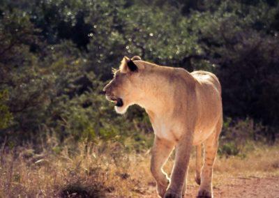 Krugar Park Lioness walking -south africa